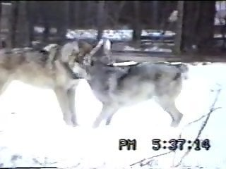 Horny man tapes two wolves fucking in the snow