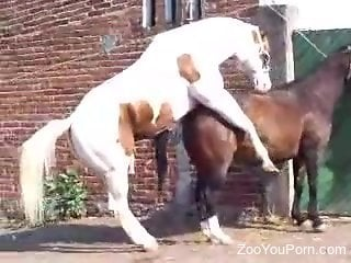 Horses fuck in outdoor scenes and horny dude tapes it all