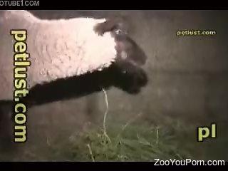 Man finger fucks sheep's ass before fucking the animal