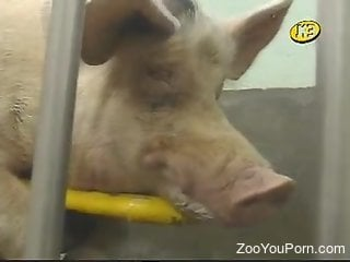 Dude gives this pig a very passionless handjob